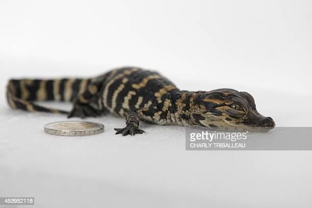 A picture taken on August 22 2014 shows a baby alligator next to a 2 euro coin at the Biotropica zoological park in ValdeReuil northern France The...