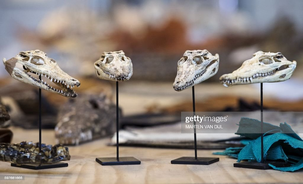 A picture taken on August 29 2016 shows animals skulls displayed at the police headquarters in Rotterdam after a seizure by Dutch police and customs...