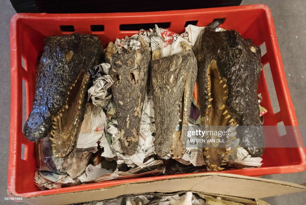 A picture taken on August 29 2016 shows crocodiles and alligators skulls displayed at the police headquarters in Rotterdam after a seizure by Dutch...