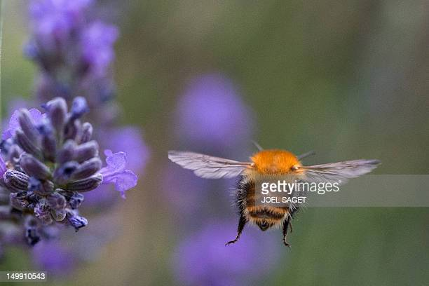 A picture taken on August 3 2012 in Prunieres southern France shows a bumblebee flying near lavender AFP PHOTO/JOEL SAGET