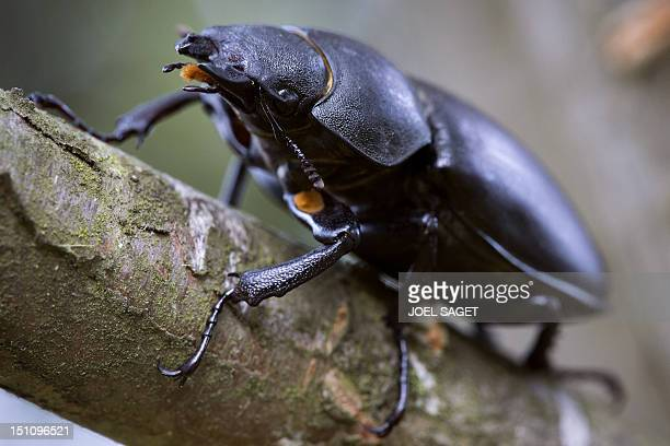 A picture taken on August 30 2012 shows a 'Dorcus Parallelipedus' stag beetle in Saint Philbert sur Risle northwestern France AFP PHOTO/JOEL SAGET