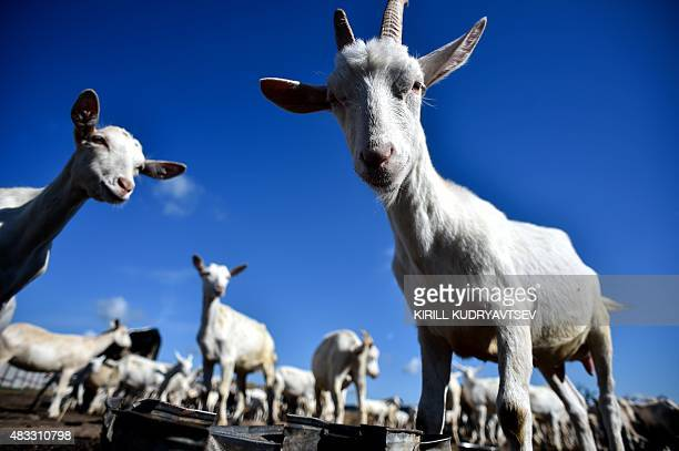 A picture taken on August 4 2015 shows a herd of goats in a farm where goat milk and cheese are manufactured in the village of Novoe Seltso close to...