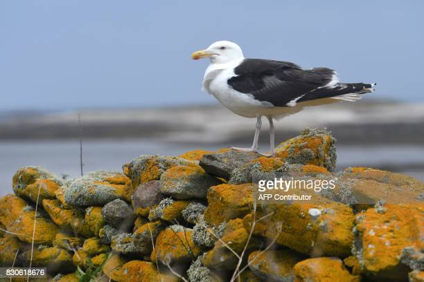 A picture taken on August 9 2017 in the island of Quemenes in Le Conquet western France shows a seagull on a rockwall A family rehabilated a breeding...