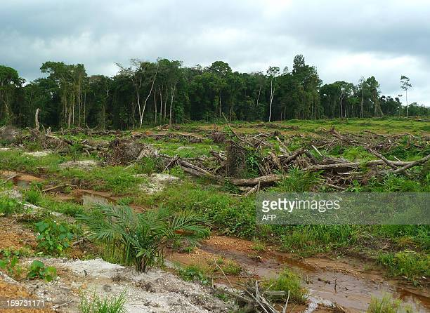 Picture taken on December 12 2012 of the concession of Indonesian Golden Veroleum Liberia southern Liberia where since the end of 2010 large parts of...