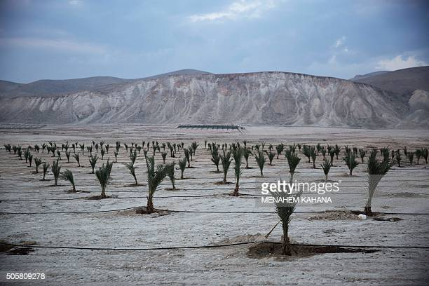 A picture taken on December 12 2015 show a new palm tree plantation in an agricultural area used by Israeli settlers near the Yafit settlement in the...