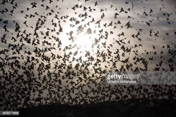 A picture taken on December 28 2015 shows a murmuration of starlings performing their traditional dance before landing to sleep near the southern...