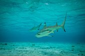 A picture taken on December 3 shows blacktip reef sharks in the lagoon of the island of Bora Bora Overexploitation threatens the survival of the...