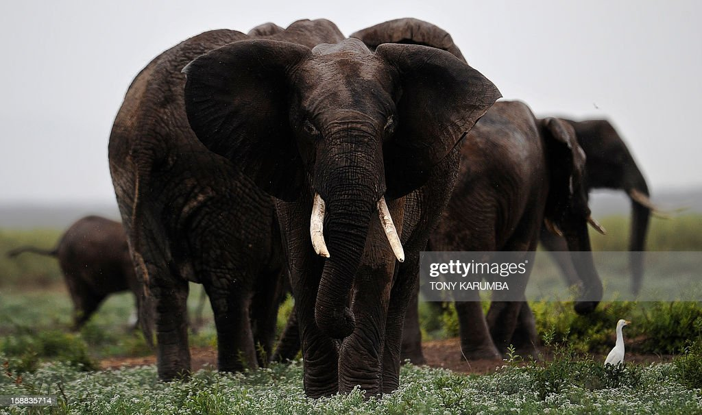 "Picture taken on December 30, 2012 shows elephants at the Amboseli game reserve, approximately 250 kilometres south of Nairobi. Drawing to its close today, this year 2012, according to the International Fund for Animal Welfare, IFAW, stands out as the ''annus horriblis'' (Latin for 'year of horrors') for the World's largest land mammal with statistics standing at 34 tonnes of poached ivory having been seized, marking the biggest ever total of confiscated ivory in a single year, outstripping by almost 40 per cent last year's record of 24.3 tonnes. Earlier this year, in just six weeks, between January and March 2012, at least 50 per cent of the elephants in Cameroon's Bouba Ndjida National Park were slaughtered for their ivory by horseback bandits. Most illegal ivory is destined for Asia, in particular China, where it has soared in value as an investment vehicle and coveted as ""white gold."" AFP PHOTO/Tony KARUMBA"