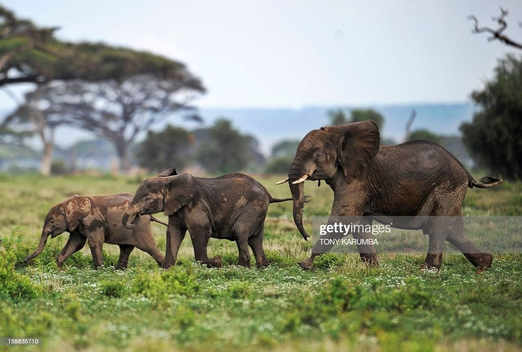 "Picture taken on December 30, 2012 shows elephants calves playing at the Amboseli game reserve, approximately 250 kilometres south of Nairobi. Drawing to its close today, this year 2012, according to the International Fund for Animal Welfare, IFAW, stands out as the ''annus horriblis'' (Latin for 'year of horrors') for the World's largest land mammal with statistics standing at 34 tonnes of poached ivory having been seized, marking the biggest ever total of confiscated ivory in a single year, outstripping by almost 40 per cent last year's record of 24.3 tonnes. Earlier this year, in just six weeks, between January and March 2012, at least 50 per cent of the elephants in Cameroon's Bouba Ndjida National Park were slaughtered for their ivory by horseback bandits. Most illegal ivory is destined for Asia, in particular China, where it has soared in value as an investment vehicle and coveted as ""white gold."" AFP PHOTO/Tony KARUMBA"