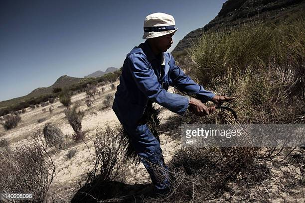A picture taken on February 13 2012 shows a farm worker harvesting rooibos tea at the Elandsberg Eco Tourism fields in Clanwilliam 200 kms north from...