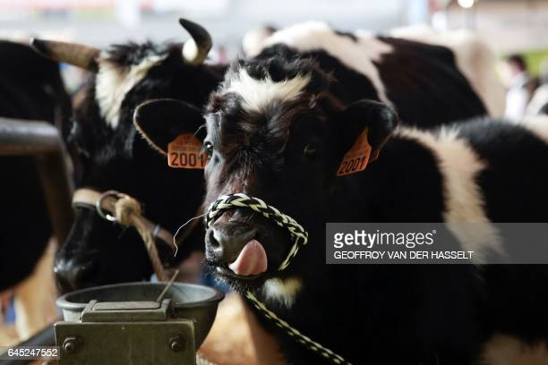 A picture taken on February 25 in Paris shows a cow during the annual International Agriculture Fair / AFP / GEOFFROY VAN DER HASSELT