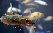 A picture taken on February 26 2015 shows a Pacific Cod during the Paris international agricultural fair at the Porte de Versailles exhibition center...