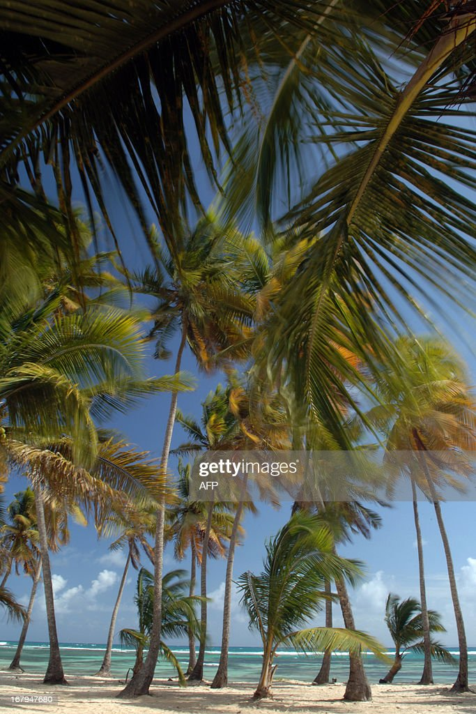 A picture taken on February 6 2009 shows coconut trees in Bois Jolan beach in SainteAnne in the French West Indies island of Guadeloupe AFP PHOTO...