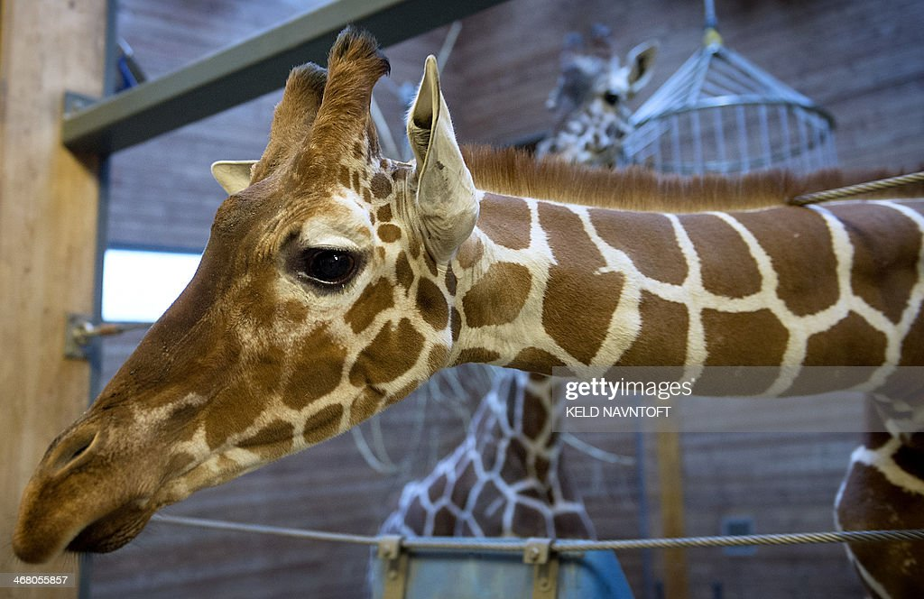 Picture taken on Febuary 7 2014 shows a perfectly healthy young giraffe named Marius who was shot dead and autopsied in the presence of visitors to...