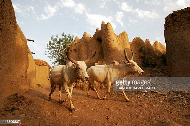 Picture taken on February 9 2005 shows two cows walking past traditional human settlements built of mud in the village of Petit Segou in the center...