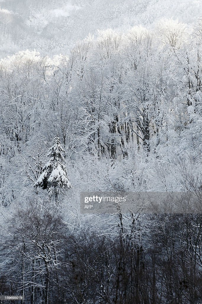 Picture taken on January 18, 2013, shows snow-covered trees at the Vizzavona mountain pass, close to Bocognano in the French Mediteranean Island of Corsica.