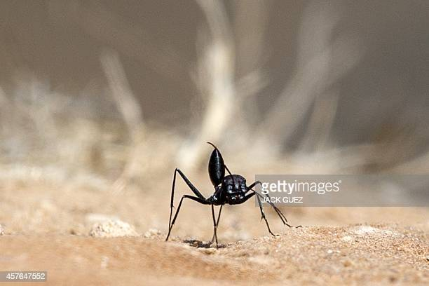 A picture taken on July 13 2014 shows a black ant near the entrance to an anthill along the Israeli Gaza border AFP PHOTO / JACK GUEZ
