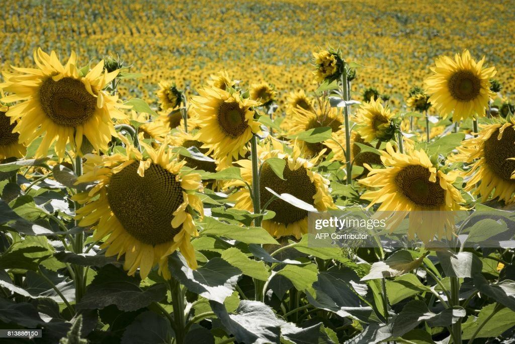 A picture taken on July 13, 2017, shows sunflowers in Lanta, near Toulouse. / AFP PHOTO / Eric CABANIS