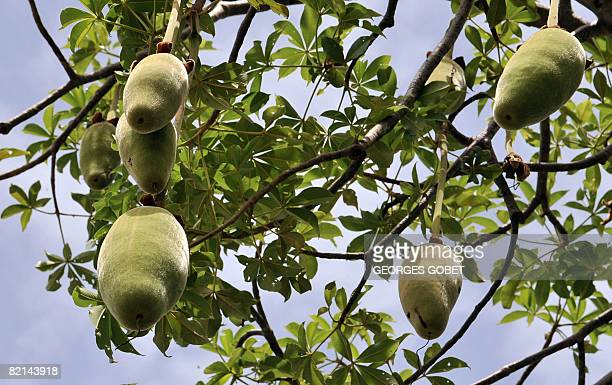 A picture taken on July 25 2007 shows the fruits of a baobab tree in the village of Thiawe Senegal where the baobab is called the Tree of Life The...
