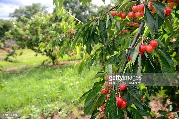 A picture taken on July 3 2013 shows bicolors cherries at the Sicoly cooperative experimental orchards in SaintLaurentd'Agny near the French...