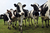 A picture taken on June 11 2013 shows Holstein cows in a farm in Laqueuille centre France AFP PHOTO THIERRY ZOCCOLAN