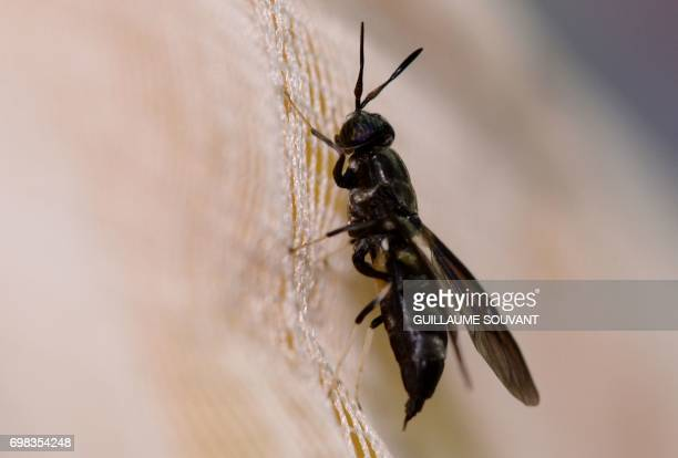A picture taken on June 14 2017 shows a black soldier fly at the NextAlim company in Poitiers NextAlim a French pioneer in the valorisation of...