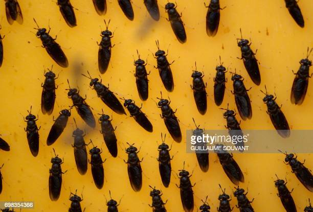 A picture taken on June 14 2017 shows black soldier flies at the NextAlim company in Poitiers NextAlim a French pioneer in the valorisation of...