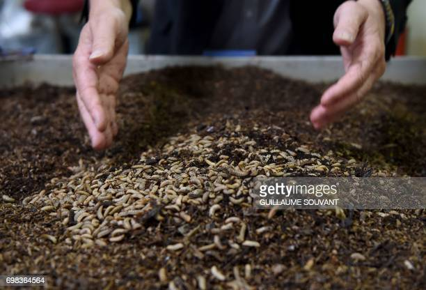 A picture taken on June 14 2017 shows black soldier fly larvae on biowaste at the NextAlim company's headquarters in Poitiers NextAlim a French...