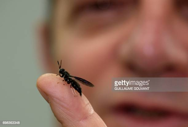 A picture taken on June 14 2017 shows founder and CEO of the Nextalim company JeanFrancois Kleinfinger holding a black soldier fly onto his finger at...