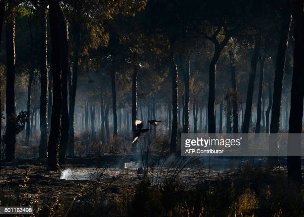 A picture taken on June 26 2017 shows birds flying in a charred forest after a wildfire in Mazagon near the Donana National Park More than 1500...