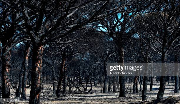 A picture taken on June 26 2017 shows charred trees after a wildfire in Mazagon near the Donana National Park More than 1500 people were evacuated as...