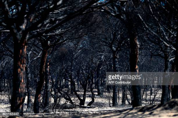 TOPSHOT A picture taken on June 26 2017 shows charred trees after a wildfire in Mazagon near the Donana National Park More than 1500 people were...