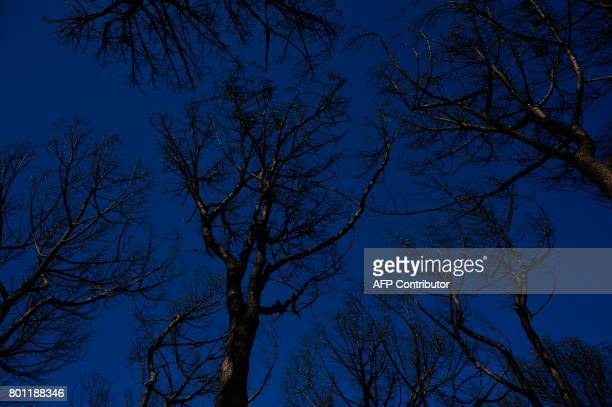 A picture taken on June 26 2017 shows charred trees in Mazagon after a wildfire near the Donana National Park More than 1500 people were evacuated as...