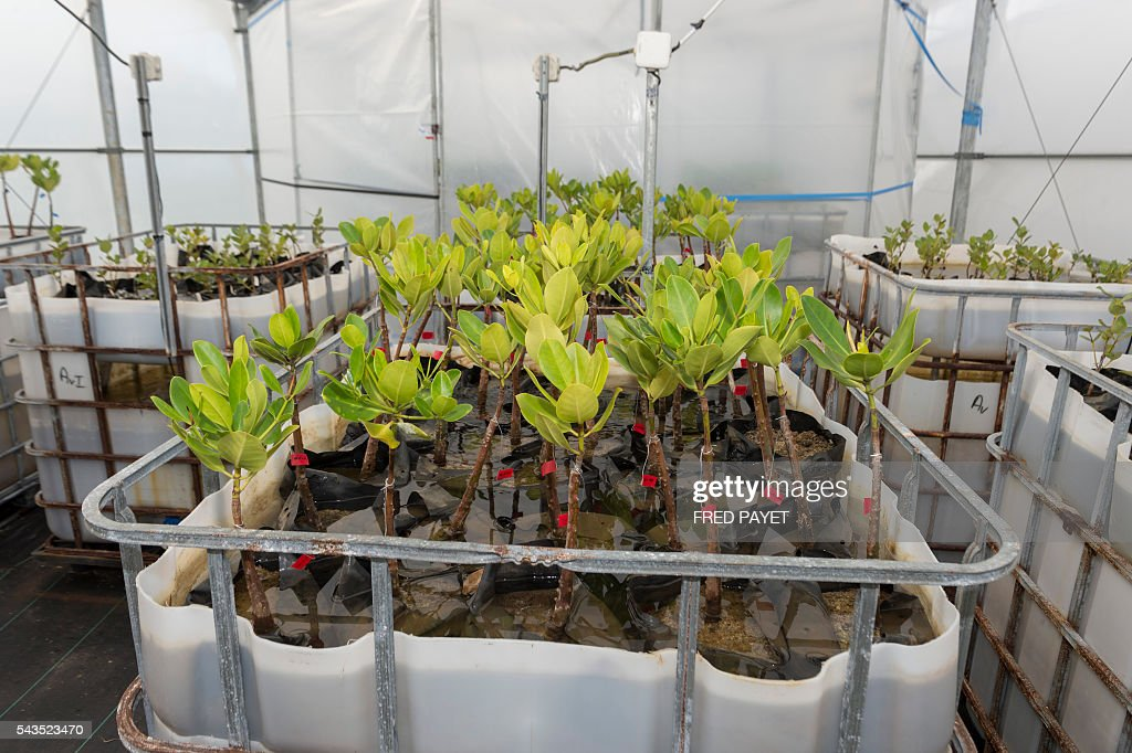 A picture taken on June 28 2016 in MontDore near Noumea shows mangrove plants installed in a greenhouse which recreates the weather conditions...