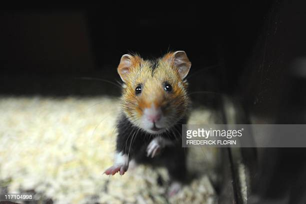 A picture taken on June 7 2011 in Hunawihr eastern France in a breeding center dedicated to the reintroduction of the specimen shows a Great Hamster...