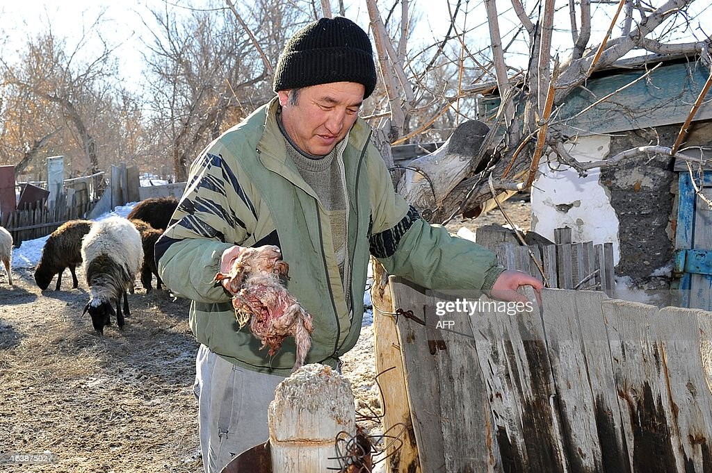 A picture taken on March 16, 2013, shows Kazakh farmer Kuandyk Bekitayev displaying what he calls the body of three-eyed and eight-legged lamb that was born three days ago at his farm in outskirts of the city of Pavlodar in north eastern Kazakhstan. The media quoted Bekitayev as saying that the mutation was caused by poor environment situation in the region. The lamb did not survive Bekitaev said.