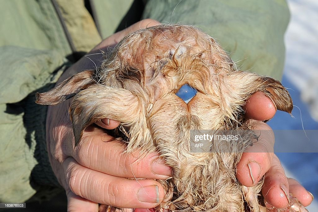 A picture taken on March 16, 2013, shows Kazakh farmer Kuandyk Bekitayev displaying what he calls the body of three-eyed and eight-legged lamb that was born three days ago at his farm in outskirts of the city of Pavlodar in north eastern Kazakhstan.The blue spot on back of the lamb's head is the animal's third eye Bekitaev said. The media quoted Bekitayev as saying that the mutation was caused by poor environment situation in the region. The lamb did not survive Bekitaev said.