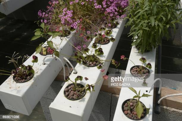 A picture taken on May 15 2017 in SaintMartin de Seignanx shows an hydroponic installation part of an aquaponic farm Aquaponics is a system that...