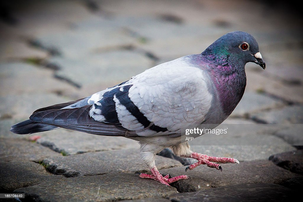 A picture taken on May 2, 2013 shows a pigeon walking on the Grand Place in Brussels. Among Belgian carrier pigeons, of which the speed champions are worth several hundreds of thousands of euros, six have tested positive for doping, including one with cocaine, the Belgian press said on October 24, 2013.