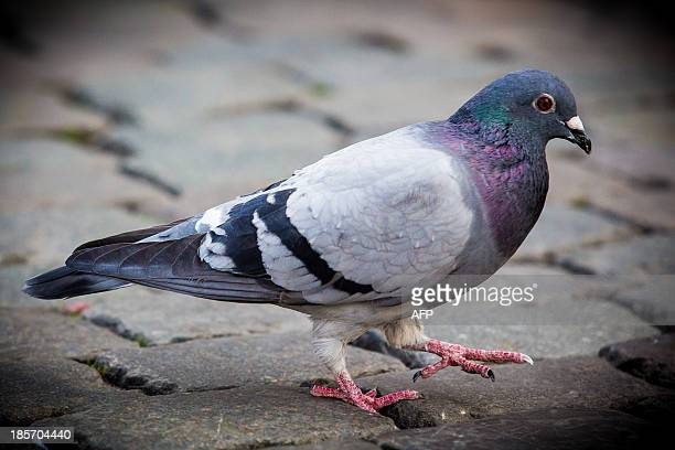 A picture taken on May 2 2013 shows a pigeon walking on the Grand Place in Brussels Among Belgian carrier pigeons of which the speed champions are...