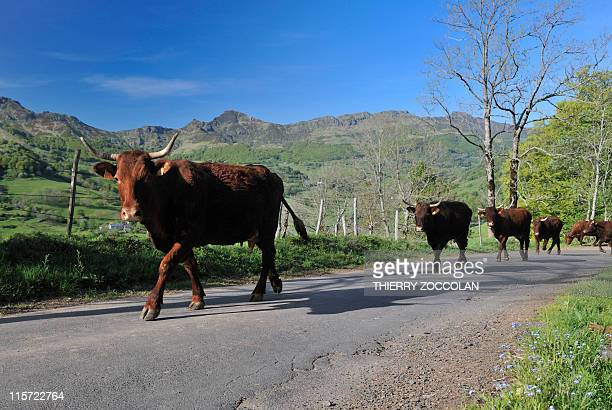 A picture taken on May 5 2011 in MandaillesSaintJulien central France shows Salers cattle on the road to Perthus pass AFP PHOTO / THIERRY ZOCCOLAN