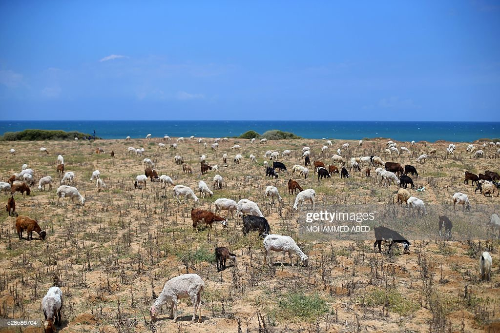 A picture taken on May 6, 2016 shows a herd near the beach in Gaza City. / AFP / MOHAMMED
