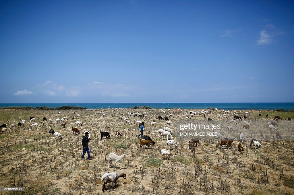 A picture taken on May 6, 2016 shows Palestinian shepherds guarding a herd near the beach in Gaza City. / AFP / MOHAMMED