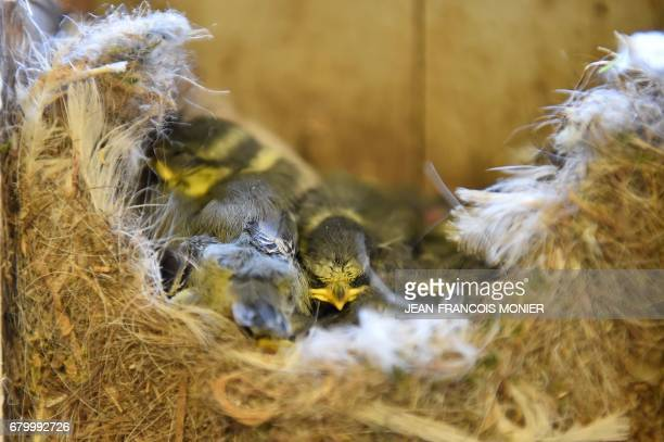 A picture taken on May 7 2017 shows chicks in the old mail box of a village of 115 inhabitants the smallest commune in Maine et Loire at a polling...