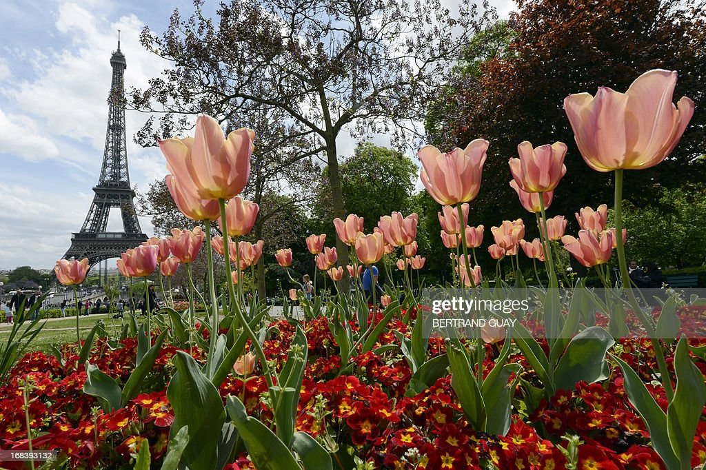 A picture taken on May 9, 2013 in Paris shows tulips and primroses in front of the Eiffel Tower. AFP PHOTO / BERTRAND GUAY