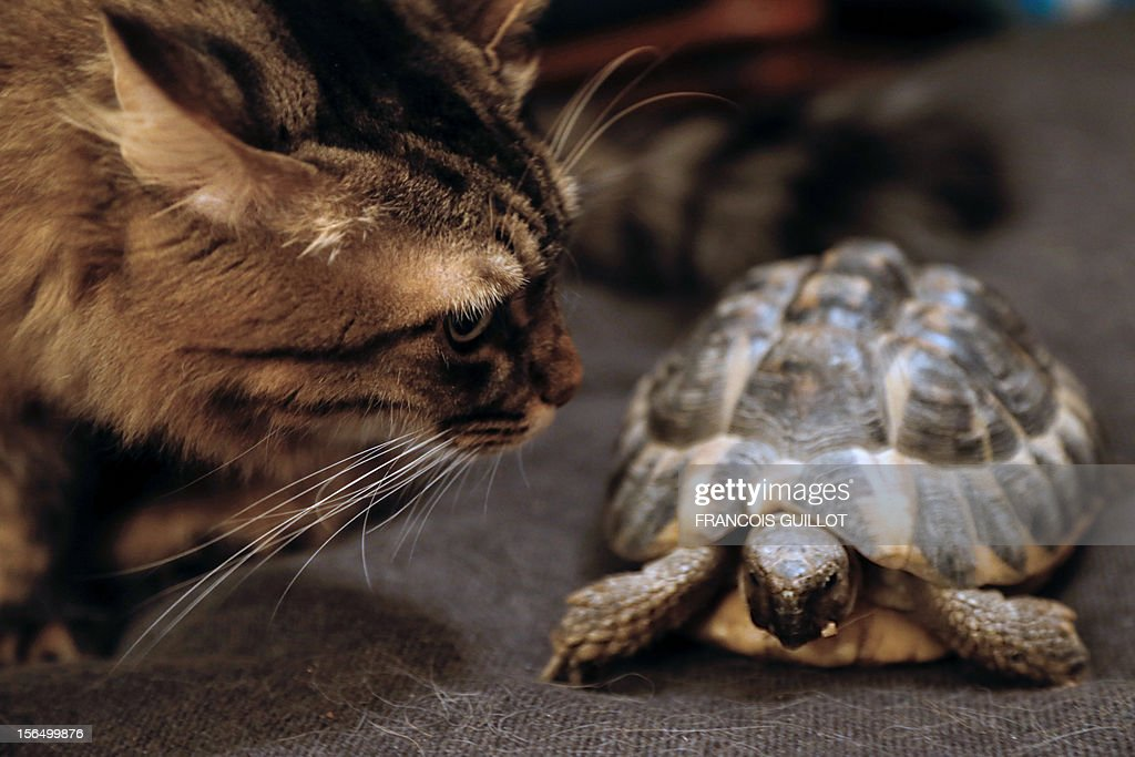 TOUSSAINT - A picture taken on November 15, 2012 in a flat in Paris of a Hermann's tortoise walking past a cat. AFP PHOTO / FRANCOIS GUILLOT