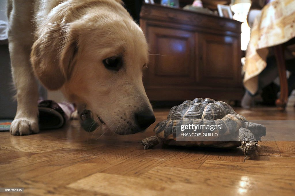 TOUSSAINT - A picture taken on November 15, 2012 in a flat in Paris of a Hermann's tortoise walking past a dog. AFP PHOTO / FRANCOIS GUILLOT