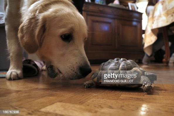 TOUSSAINT A picture taken on November 15 2012 in a flat in Paris of a Hermann's tortoise walking past a dog AFP PHOTO / FRANCOIS GUILLOT