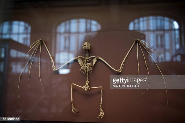 A picture taken on November 16 2017 in Paris shows a bird's skeleton displayed at the comparative anatomy gallery of the French museum of Natural...