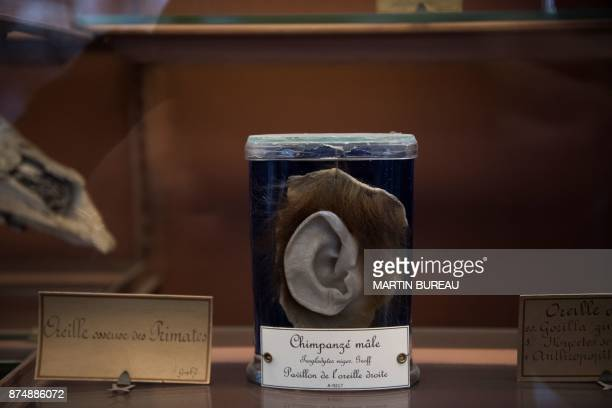 A picture taken on November 16 2017 in Paris shows a chimpanzee's ear displayed in glass jars at the comparative anatomy gallery of the French museum...